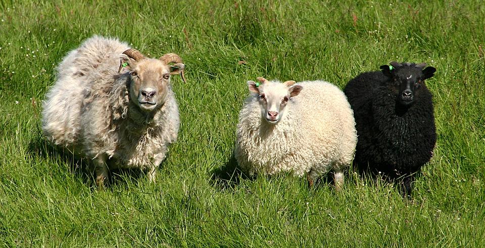 Schafe Wiese schwarzes Schaf