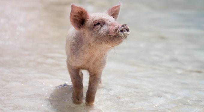 Nahezu rund um die Welt gelten Schweine als Glücksbringer