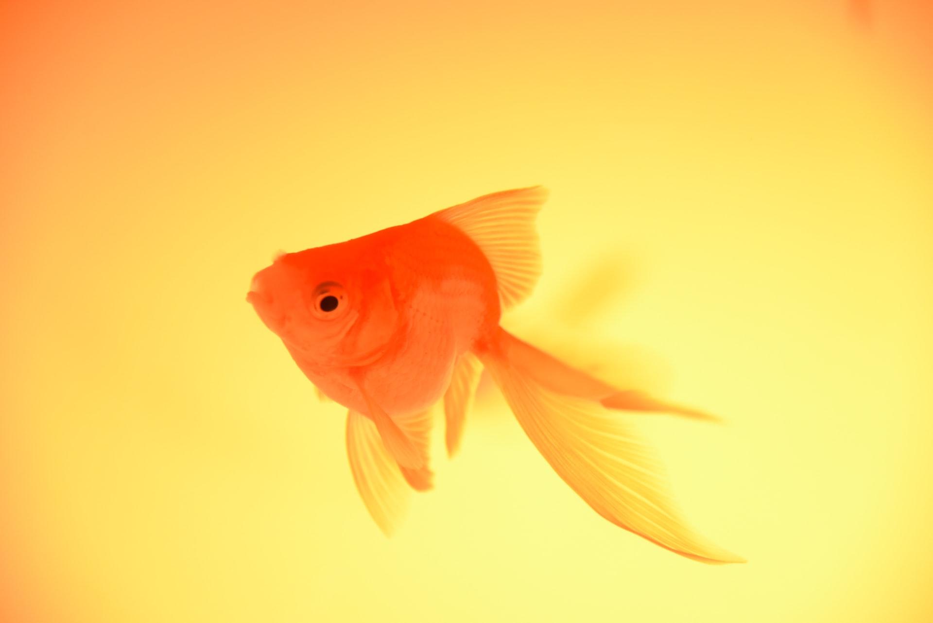 Der Goldfisch trägt seine Assoziation als Glücksbringer Tier bereits im Namen