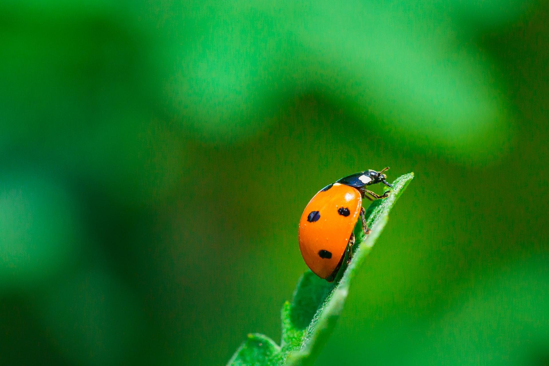 Der Marienkäfer mit seinen häufigen sieben Punkten gilt als Glückssymbol