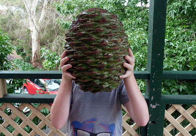 Zapfen Pinienzapfen Bunya-Bunya-Baum