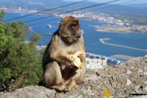 Affe auf dem Affenfelsen von Gibraltar
