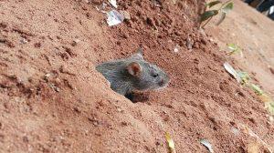 Ratte, Rattenloch, Sand