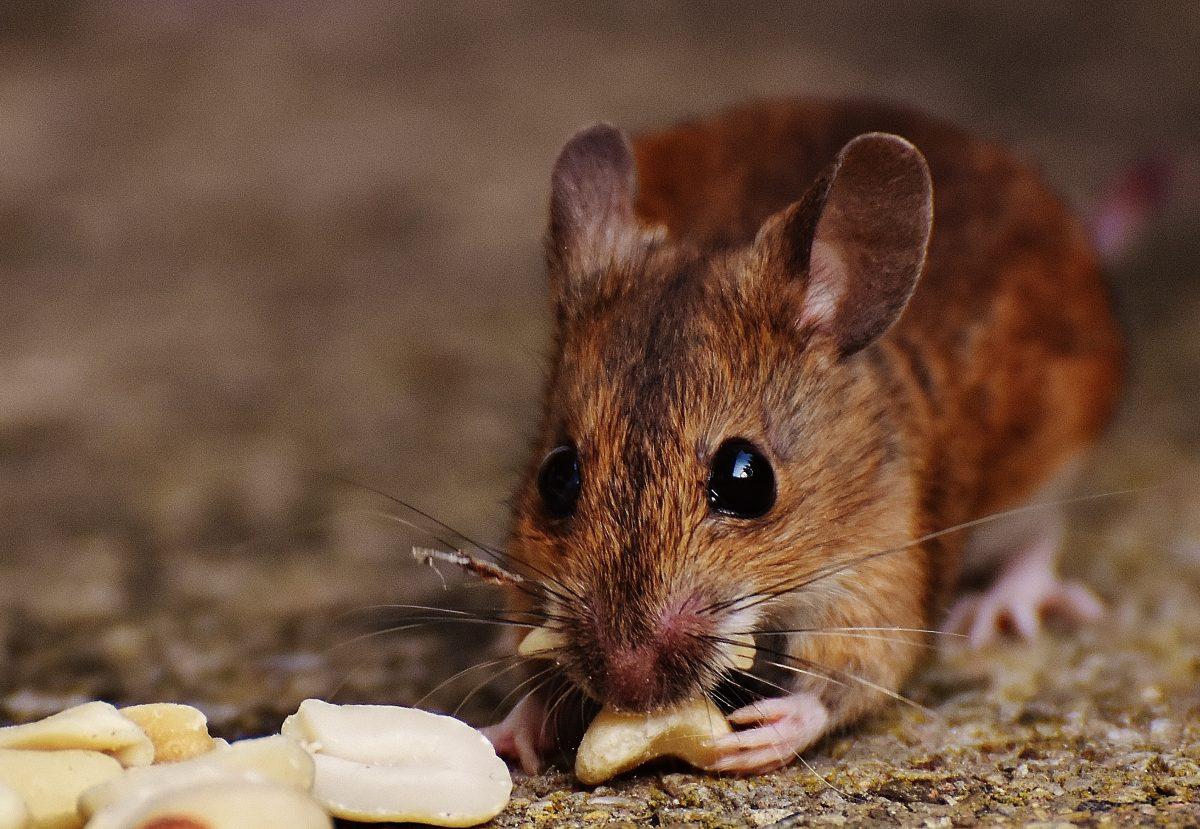 Maus knabbert an Erdnuss