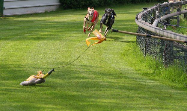 Windhunde beim Rennen