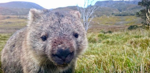 Süßer Wombat guckt in Kamera