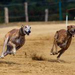 Großbritannien: Windhunde kehren zurück auf die Rennstrecken