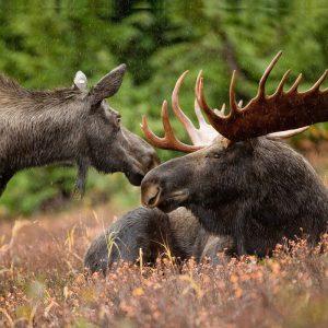 In Maine leben zwischen 60.000 und 70.000 Elche (Bild: Pixabay) Elche