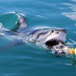 Sportflaute: Buchmacher bietet Wetten auf weiße Haie an