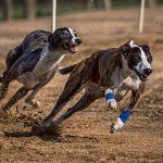2020 Irish Greyhound Derby: Übertragungsrechte gehen an Sports Information Services