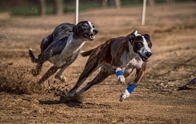 Zwei Windhunde auf der Rennbahn