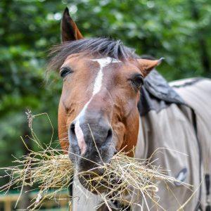 Pferd isst Heu Stroh