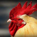 Philippinen auf dem Weg zu regulierten Wetten auf Hahnenkämpfe
