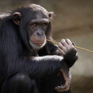 Schimpanse Affe kaut auf Grashalm