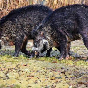 Zwei Wildschweine auf Wiese